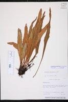 Pleopeltis marginata image