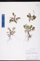 Image of Stenandrium tuberosum