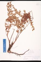 Hypericum myrtifolium image