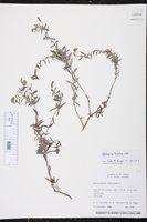 Heliotropium ternatum image