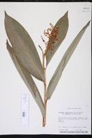 Renealmia jamaicensis var. puberula image