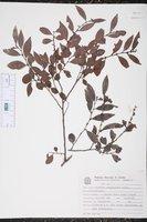 Image of Maytenus evonymoides