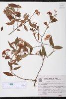 Begonia fruticosa image