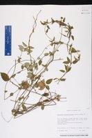 Image of Cynanchum grisebachianum