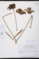 Alstonia longifolia image