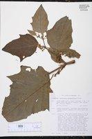 Witheringia stramonifolia image