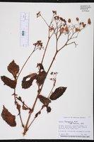 Begonia domingensis image