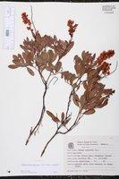 Image of Chamaecrista punctata