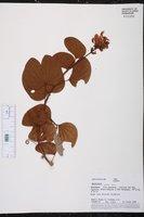 Bauhinia glabra image