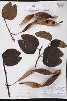 Bauhinia acreana image