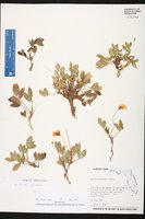 Arachis glabrata image