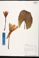 Nymphaea x daubenyana image