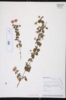 Lantana montevidensis image