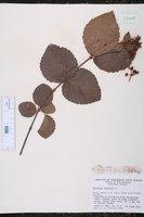 Viburnum dentatum var. scabrellum image