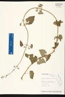 Mikania cordifolia image