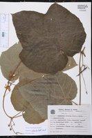 Cayaponia cabocla image