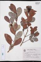 Psidium cattleyanum image