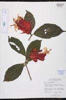 Ruellia colorata image