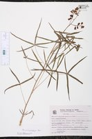 Image of Manihot pentaphylla