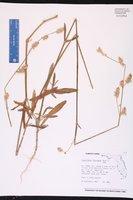 Froelichia floridana image