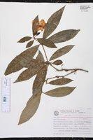 Brunfelsia pauciflora image