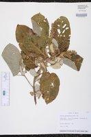 Image of Croton pyramidalis