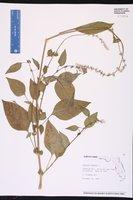 Celosia trigyna image