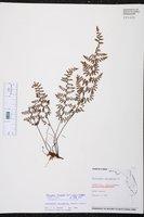 Myriopteris microphylla image