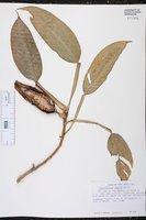 Philodendron seguine image