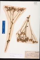 Arnoglossum floridanum image