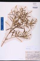 Croton linearis image