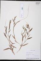Image of Panicum nodatum
