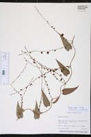 Dioscorea cordata image