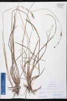 Anthaenantia rufa image