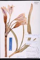Crinum zeylanicum image