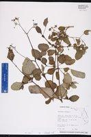 Boerhavia diffusa image