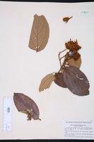 Image of Luehea ochrophylla