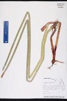 Eleocharis equisetoides image