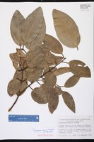 Cinnamomum verum image