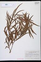 Acacia richii image