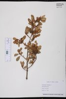 Corchorus hirsutus image