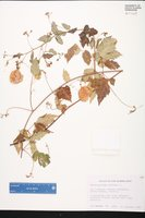 Cardiospermum corindum image