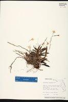 Epidendrum conopseum image