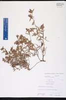 Crocanthemum arenicola image