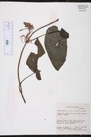 Philodendron scandens image