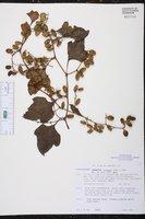 Cayaponia racemosa image