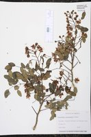 Image of Caesalpinia yucatanensis