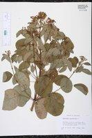 Image of Euphorbia cotinifolia