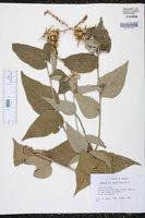 Image of Croton morifolius