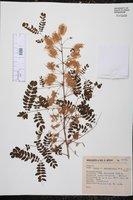 Image of Mimosa guatemalensis